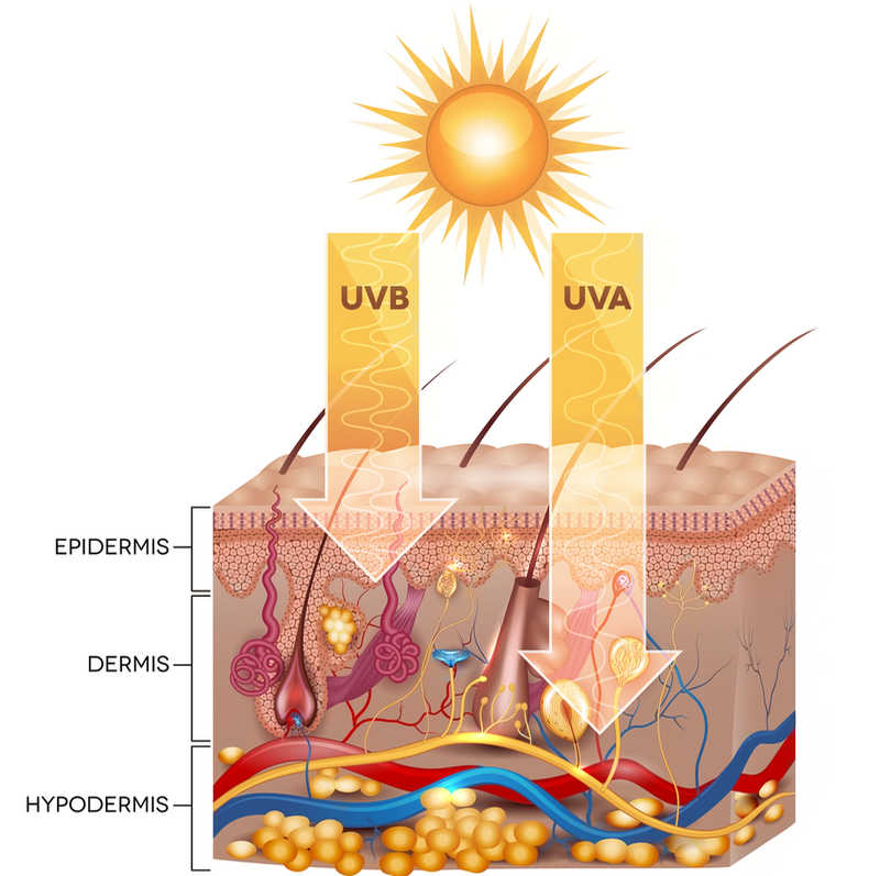 UV rays and skin penetration diagram | Sunscreen & SPF | Why You Need Better UVA Protection | Masterpiece Skin Restoration