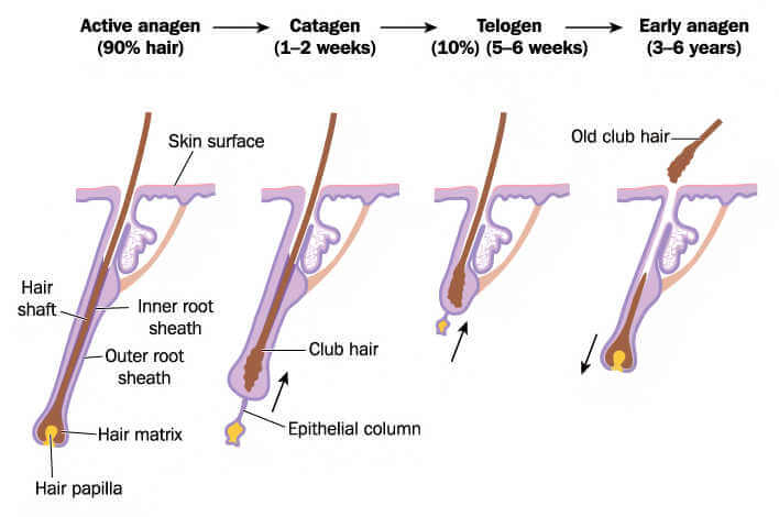 diagram of the hair cycle