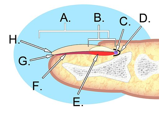 Human Nail Anatomy | Fingernail Ridges | Masterpiece Skin Restoration