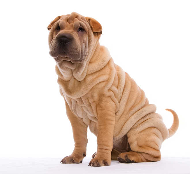 Tan sharpei puppy with lots of wrinkles web | Great Works of Art Get Restoration! You Can Too! | Medical Beauty | Masterpiece Skin Restoration