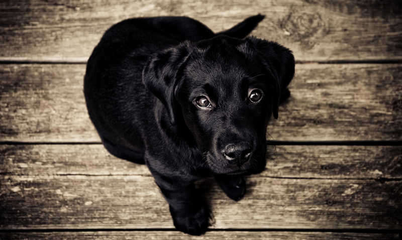 black lab puppy looking up | Great Works of Art Get Restoration! You Can Too! | Medical Beauty | Masterpiece Skin Restoration