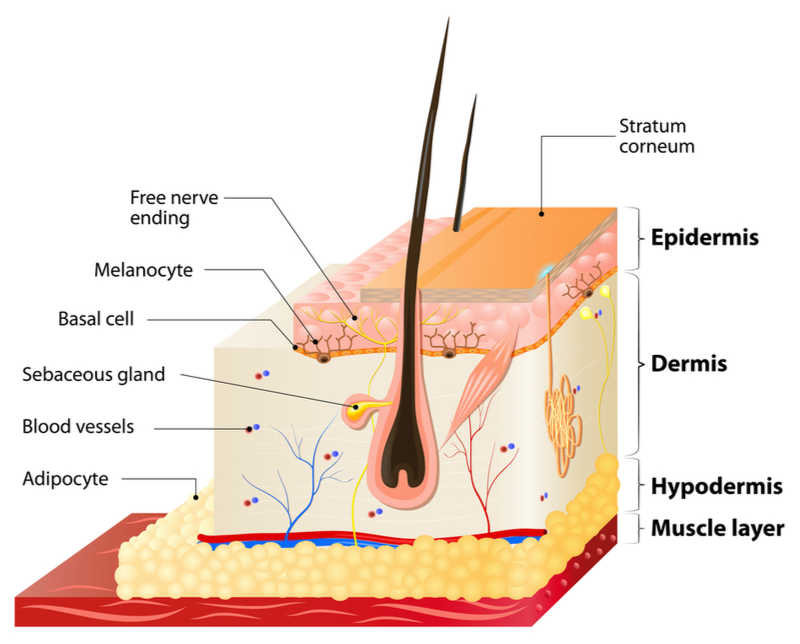 diagram of the layers of skin | 15 Tips for Beautiful Lips + Shop Skincare Products for Lips! | Masterpiece Skin Restoration